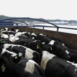 envio vacas